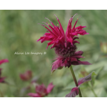 Fancy Bee Balm