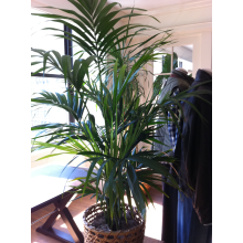14'' kentia palm