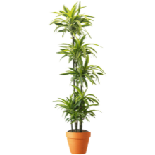 DRACAENA LEMON LIME CANE
